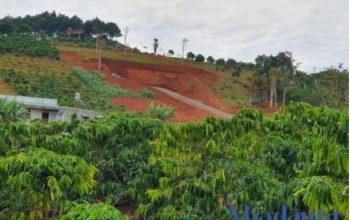 Một phần quả đồi trồng cà phê tại TP. Bảo Lộc